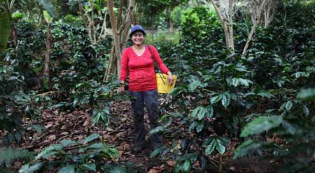 picking shade grown coffee